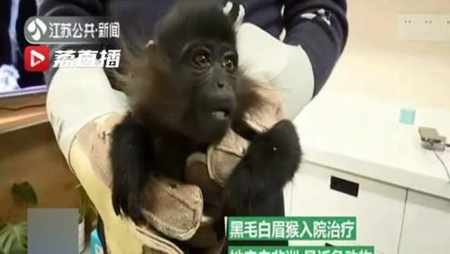 猴王争霸伤及无辜小猴子 医生巧手为它接骨疗伤