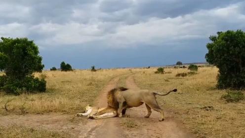 一只母狮正在路边休息,雄狮下一秒的举动,太搞笑了!