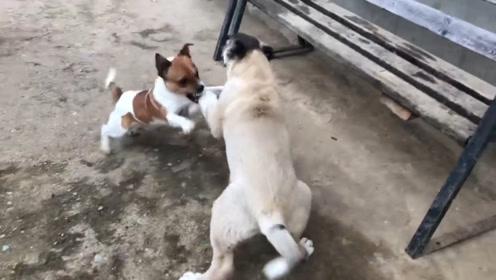 """两只狗子为抢骨头打起来,狗子们是""""面目狰狞"""",网友直呼冷静点"""