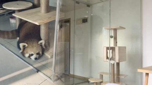 重庆一咖啡厅饲养小熊猫招客引网友热议,国家林业局关注调查