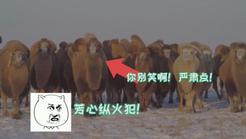 数百峰骆驼正向你走来!实拍百驼雪地撒欢奔腾 可把网友萌化了
