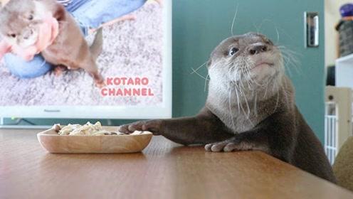 主人在水獭吃饭的时候,给它看电视,下一秒可别笑岔气了