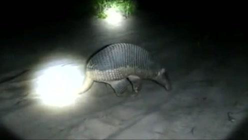 大晚上的见到这个动物,谁知道这是啥?