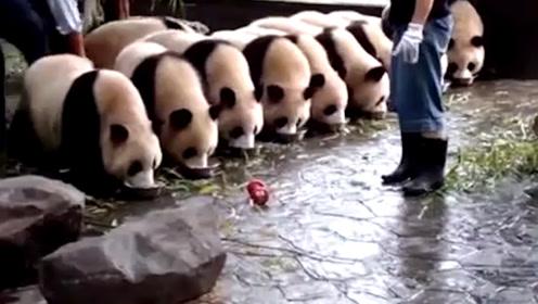 大熊猫排队吃盆盆奶很乖,然而奶妈一走开后,全乱套了!