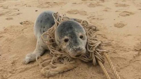 海豹被绳子缠绕多年,当渔民帮它打开后,瞬间让人泪崩了