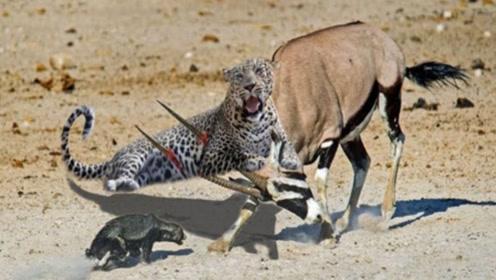 豹子捕杀羚羊,怎么都没想到羚羊角会如此尖锐,结果悲剧发生了