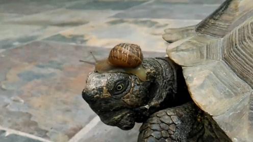 本是同根生相煎何太急!小哥把蜗牛和乌龟养在一起,画面不忍看