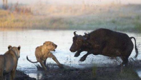 野牛王闯进埋伏圈,狮子不敢轻举妄动,不得不说野牛果然威风