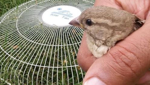 为什么我们抓到的麻雀,最后都给养死了,看完就明白了!