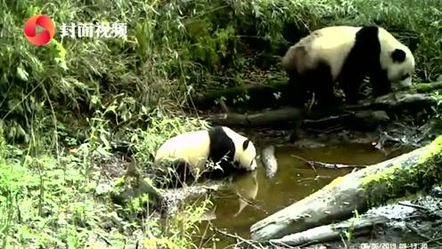 罕见!四川雅安宝兴拍到野生大熊猫母子同框