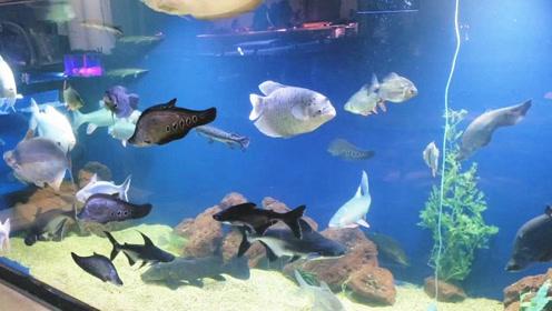 漂亮的超级大鱼缸,给人的感觉霸气十足,估计是多数鱼友梦寐以求的