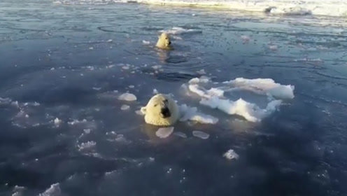 呆萌!2只北极熊为追无人机 连顶冰面数个洞