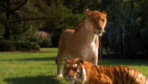 """来自人为操控的""""爱情悲剧""""狮虎兽,重达1000斤,战斗力爆表"""