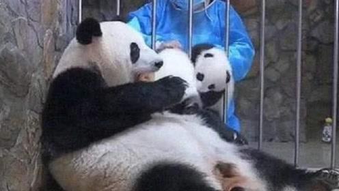 熊猫宝宝:说好的母爱无边呢?一个苹果咋还换两个崽崽呢,嘤嘤嘤