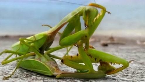 母螳螂为何会吃公螳螂,其实不是为了传宗接代,看完后涨知识了
