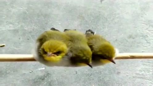 鸟妈妈回娘家了,拜托主人照顾它的三个宝宝,真是太信任了!
