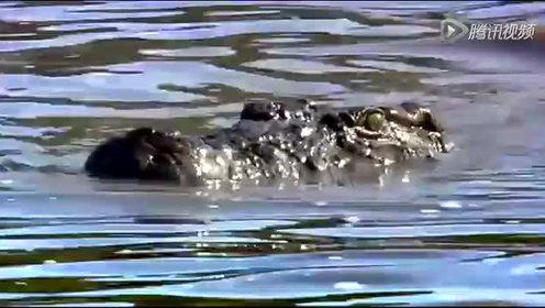 够刺激 狮子过河险遭潜伏鳄鱼袭击