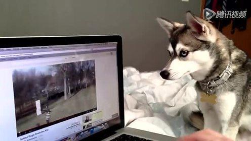 惊呆了!连狗狗看金鹰抓baby的视频都动容了