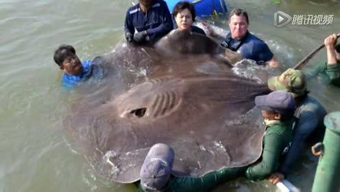 男子在湄公河钓726斤大鱼 或为最大淡水鱼