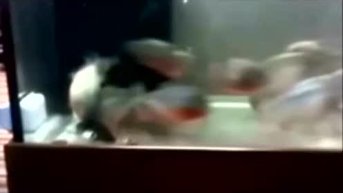 在食人鱼缸里,放一条小鲨鱼,会是什么效果?