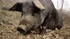 丹江口库区散养黑毛猪