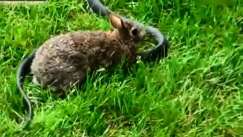 面对吃掉自家娃的毒蛇,一向温顺的兔子暴起,和蛇斗的你死我活