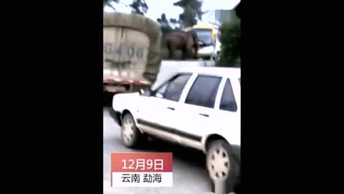 野象公路袭中巴撞前窗 车上人吓懵