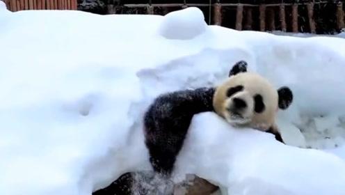 大熊猫第一次见到下雪 国宝雪地撒欢就停不下来