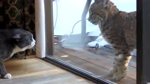 怼蛇,怼熊,怼鳄鱼!站在生物链顶端的猫咪