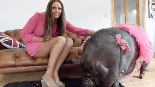 女子养宠物猪每晚搂着睡 男友做法让人点赞