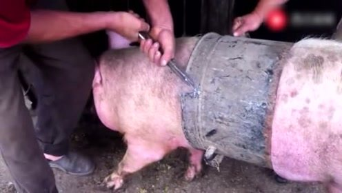 这猪小时候掉桶里后,长大了几就没出来过