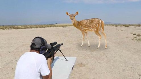实拍:老外用巴雷特狩猎野鹿,太残忍了!