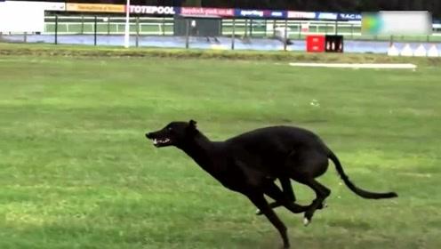 世界上速度最快的狗,时速达到70公里每小时的纯种格力犬!