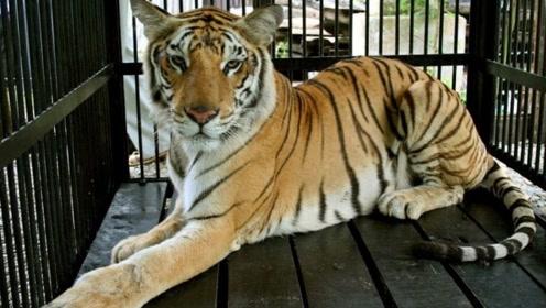 美国警员处理车祸现场 竟在车里发现8只活老虎