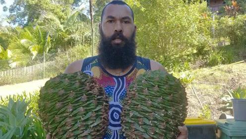 澳洲一种树木能结20斤硕大果塔 大部分当地居民却不会吃