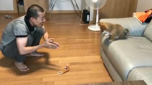 狗狗不敢跳下沙发 主人一招就让它学会