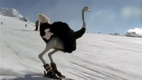 连鸵鸟都学会滑雪了  活久见系列了解一下