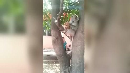 猴哥抱狗上树 狗子一脸惊恐