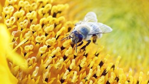你知道吗?如果蜜蜂灭亡这些事将永远消失