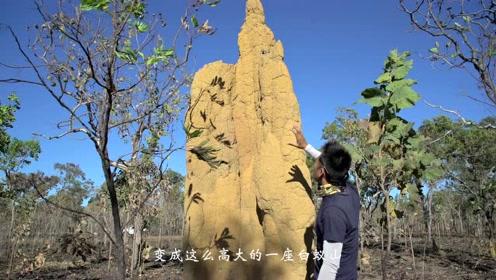 像小山一样的澳洲白蚁土堆,更加惊人的是它们庞大的地下迷宫