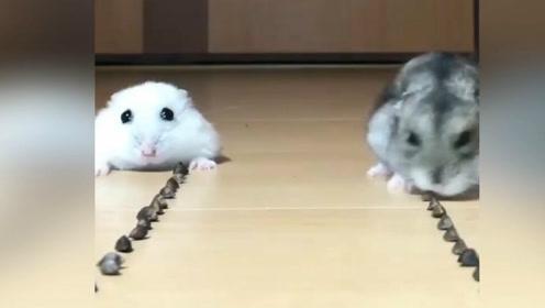 小仓鼠在食物面前愣了一下,没想到一转眼都没了哈哈