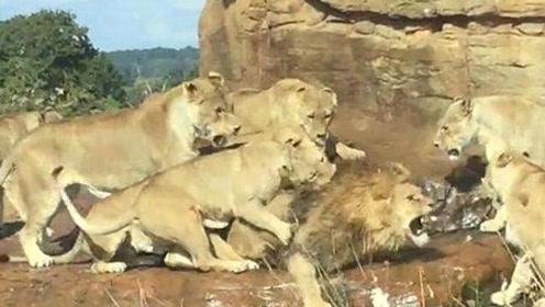 后宫暴动!英国动物园9只母狮围攻一只年老公狮