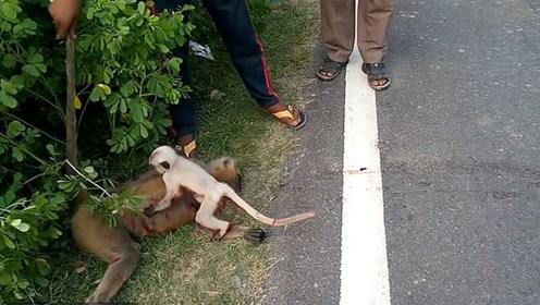 心碎!母猴死于车祸 小猴搂着妈妈不肯离去