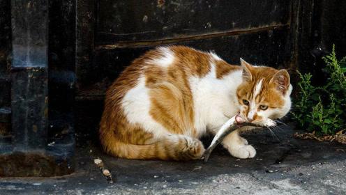 为什么猫咪不怕被鱼刺卡到喉咙,难道有什么特异功能吗?