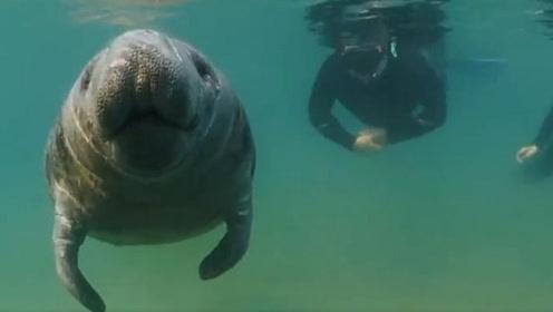 摄影师潜水偶遇数头海牛 亲密同游合影