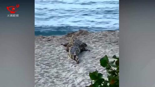 沙滩上突然蹦出一条鳄鱼 游客看见鳄鱼逃跑时不忘拍照