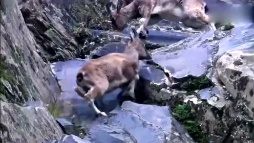 雪豹悬崖上追杀山羊,生死关头,山羊竟然做出了反击!