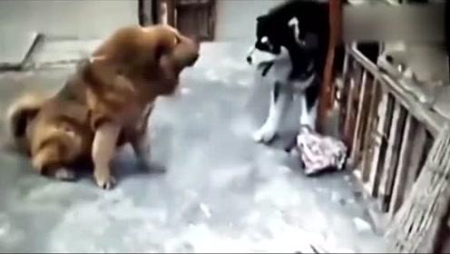 藏獒VS二哈,完败!