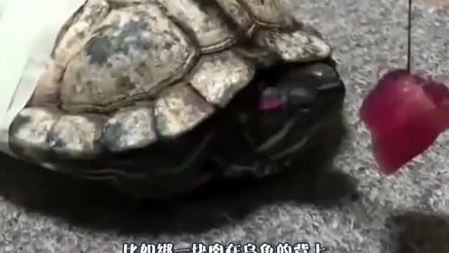 将一块肉绑在乌龟面前,神奇的永动龟出现了