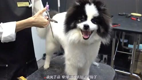 这只狗狗太活泼了,给它剪个头发都不老实,太萌了!